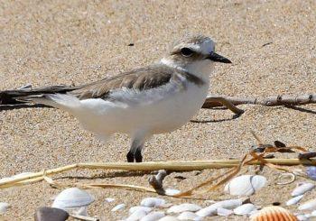 Il Fratino in Molise: segno di spiagge pulite e biodiversità protetta.